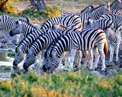 Zebras at a watering hole in Etosha