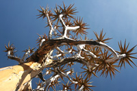 Quivertree in the South of Namibia